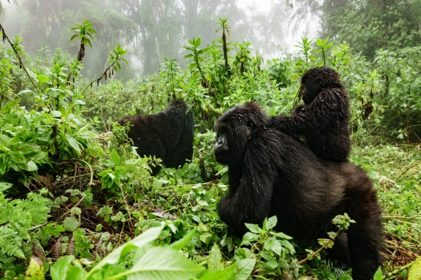Mother gorilla carrying young on her back through Virunga National Park.